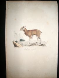Saint Hilaire & Cuvier C1830 Folio Hand Colored Print. Corsican Sheep